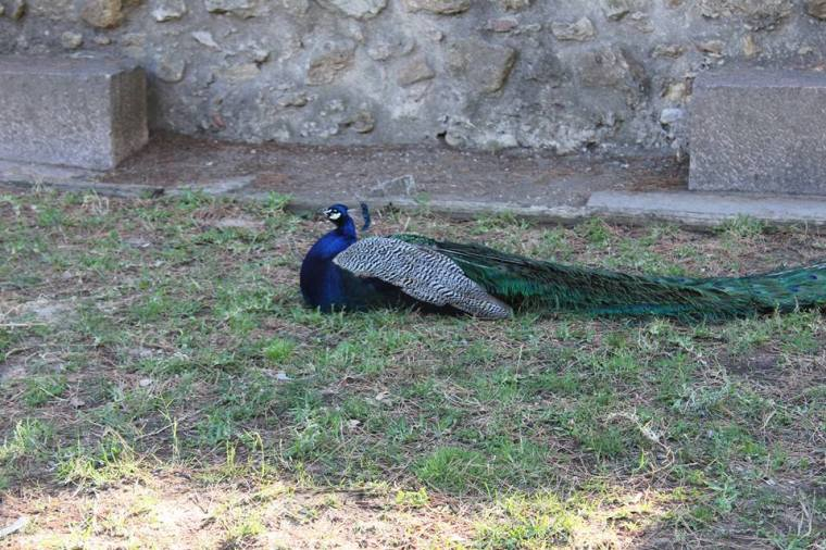 Lisbon peacock